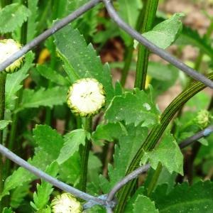 Photographie n°2336943 du taxon Leucanthemum vulgare subsp. vulgare