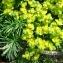 Euphorbia cyparissias L. [nn25823] par Alain Bigou le 21/05/2019 - Остров Белов