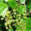 Ribes rubrum L. [nn75483] par Alain Bigou le 21/05/2019 - Остров Белов