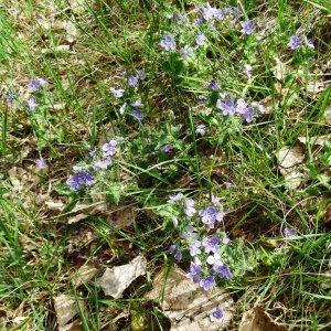 Photographie n°2337145 du taxon Veronica chamaedrys L. [1753]