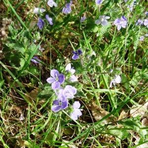 Photographie n°2337146 du taxon Veronica chamaedrys L. [1753]