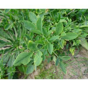 Ononis arvensis L. subsp. arvensis