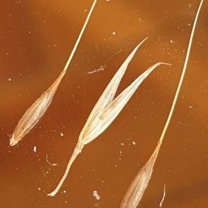 Photographie n°2337560 du taxon Achnatherum bromoides (L.) P.Beauv. [1812]