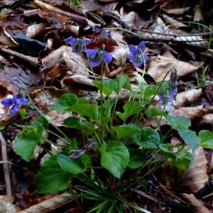 Photographie n°2337666 du taxon Viola riviniana Rchb.