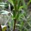 Patrick Ressayre - Oenothera biennis L. [1753]