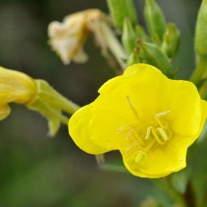 Oenothera biennis L. (Herbe aux ânes)