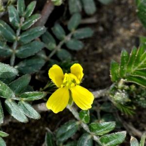 Tribulus terrestris L. (Croix de Malte)