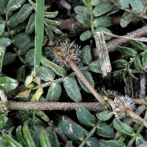 Photographie n°2337838 du taxon Tribulus terrestris L. [1753]
