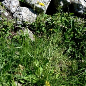 Photographie n°2337930 du taxon Crepis mollis (Jacq.) Asch. [1864]