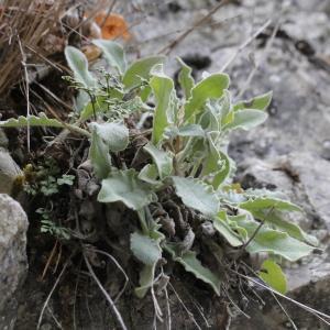 Photographie n°2338004 du taxon Hieracium tomentosum L. [1755]