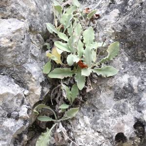 Photographie n°2338019 du taxon Hieracium tomentosum L. [1755]