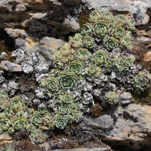 Photographie n°2338055 du taxon Saxifraga paniculata Mill.