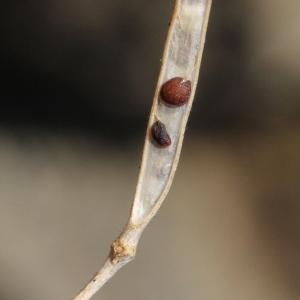 Photographie n°2338152 du taxon Arabis alpina L. [1753]