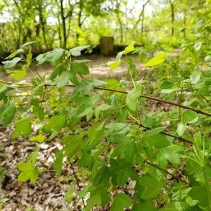 Photographie n°2338171 du taxon Acer monspessulanum subsp. monspessulanum