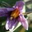 Liliane Roubaudi - Solanum melongena L. [1753]