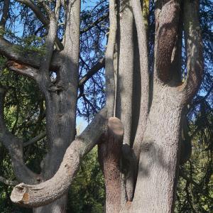 Photographie n°2338236 du taxon Cedrus deodara var. robusta (C.Lawson) Carrière