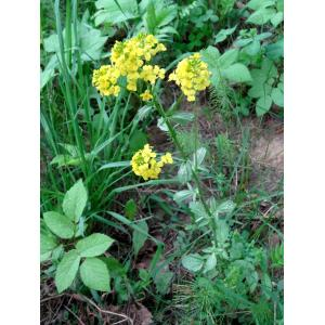 Barbarea vulgaris R.Br. var. vulgaris