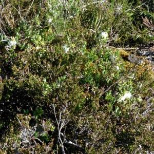 Photographie n°2338282 du taxon Salix repens L. [1753]