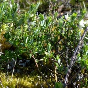 Photographie n°2338291 du taxon Salix repens L. [1753]