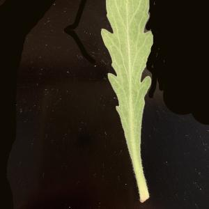 Photographie n°2338341 du taxon Capsella bursa-pastoris (L.) Medik.