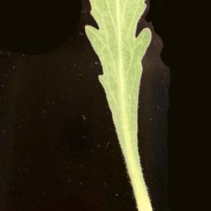 Photographie n°2338342 du taxon Capsella bursa-pastoris (L.) Medik.