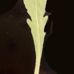 Photographie n°2338344 du taxon Capsella bursa-pastoris (L.) Medik.