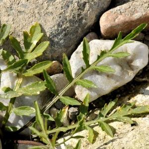 Photographie n°2338434 du taxon Rorippa sylvestris (L.) Besser [1821]