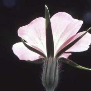 Photographie n°2338576 du taxon Agrostemma githago L. [1753]