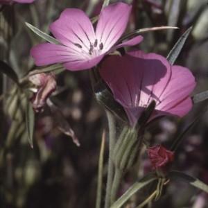 Photographie n°2338582 du taxon Agrostemma githago L. [1753]