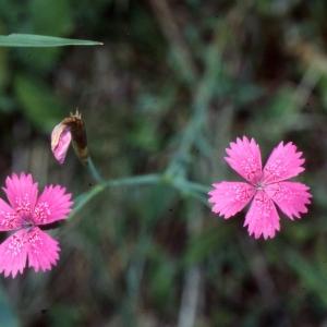 Dianthus deltoides L. [1753] (Oeillet à delta)