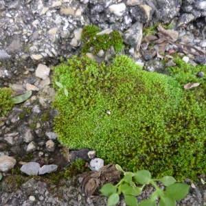 Photographie n°2338604 du taxon mousse