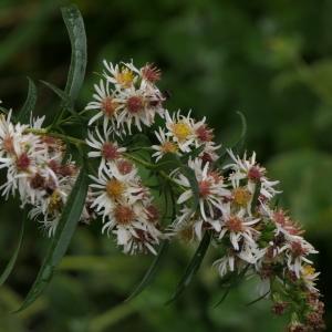 - Symphyotrichum lanceolatum (Willd.) G.L.Nesom
