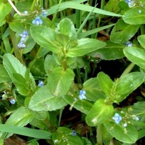 Photographie n°2338777 du taxon Veronica beccabunga L.