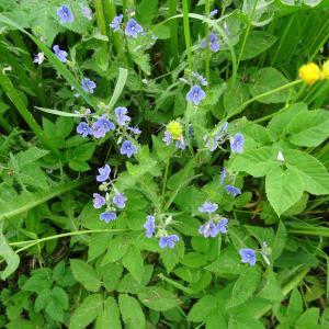 Photographie n°2338813 du taxon Veronica chamaedrys L. [1753]