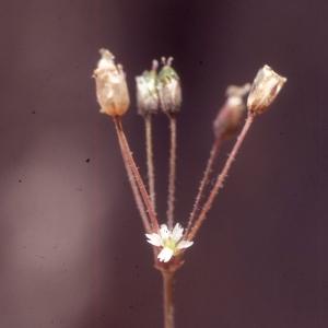 Holosteum umbellatum L. [1753] (Holostée en ombelle)