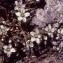 Liliane Roubaudi - Arenaria ciliata L. [1753]