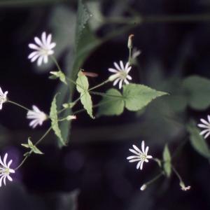 Stellaria nemorum L. (Stellaire des bois)