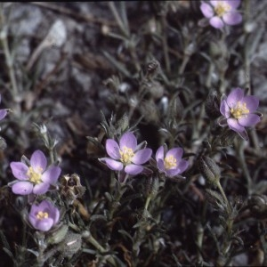 Photographie n°2339061 du taxon Spergularia rubra (L.) J.Presl & C.Presl [1819]