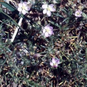Photographie n°2339062 du taxon Spergularia rubra (L.) J.Presl & C.Presl [1819]