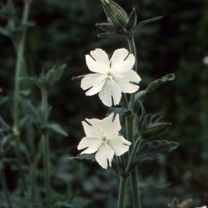 - Silene latifolia Poir. [1789]