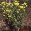Liliane Roubaudi - Euphorbia palustris L. [1753]