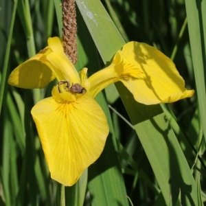 Photographie n°2339086 du taxon Iris pseudacorus L. [1753]