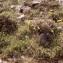 Liliane Roubaudi - Euphorbia verrucosa subsp. mariolensis (Rouy) Vives