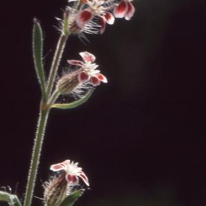 Photographie n°2339328 du taxon Silene gallica proles quinquevulnera (L.) Rouy & Foucaud [1896]