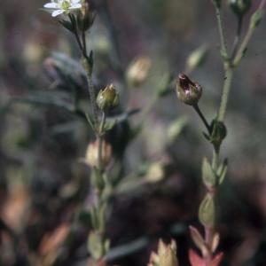 Photographie n°2339361 du taxon Arenaria serpyllifolia L. [1753]