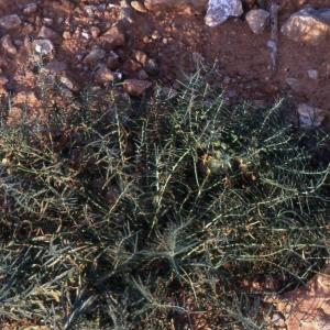Photographie n°2339601 du taxon Euphorbia serrata L. [1753]