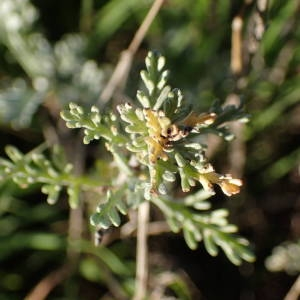 Artemisia caerulescens subsp. gallica (Willd.) K.M.Perss. (Armoise de France)
