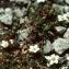 Liliane Roubaudi - Arenaria biflora L. [1767]