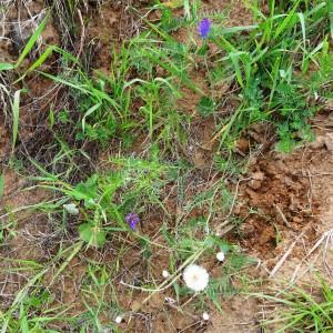 Photographie n°2339696 du taxon Vicia cracca L. [1753]