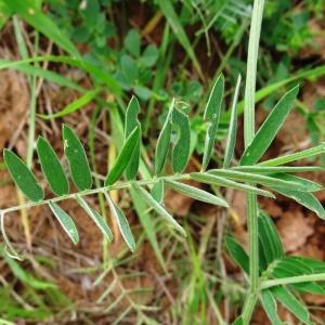 Photographie n°2339698 du taxon Vicia cracca L. [1753]